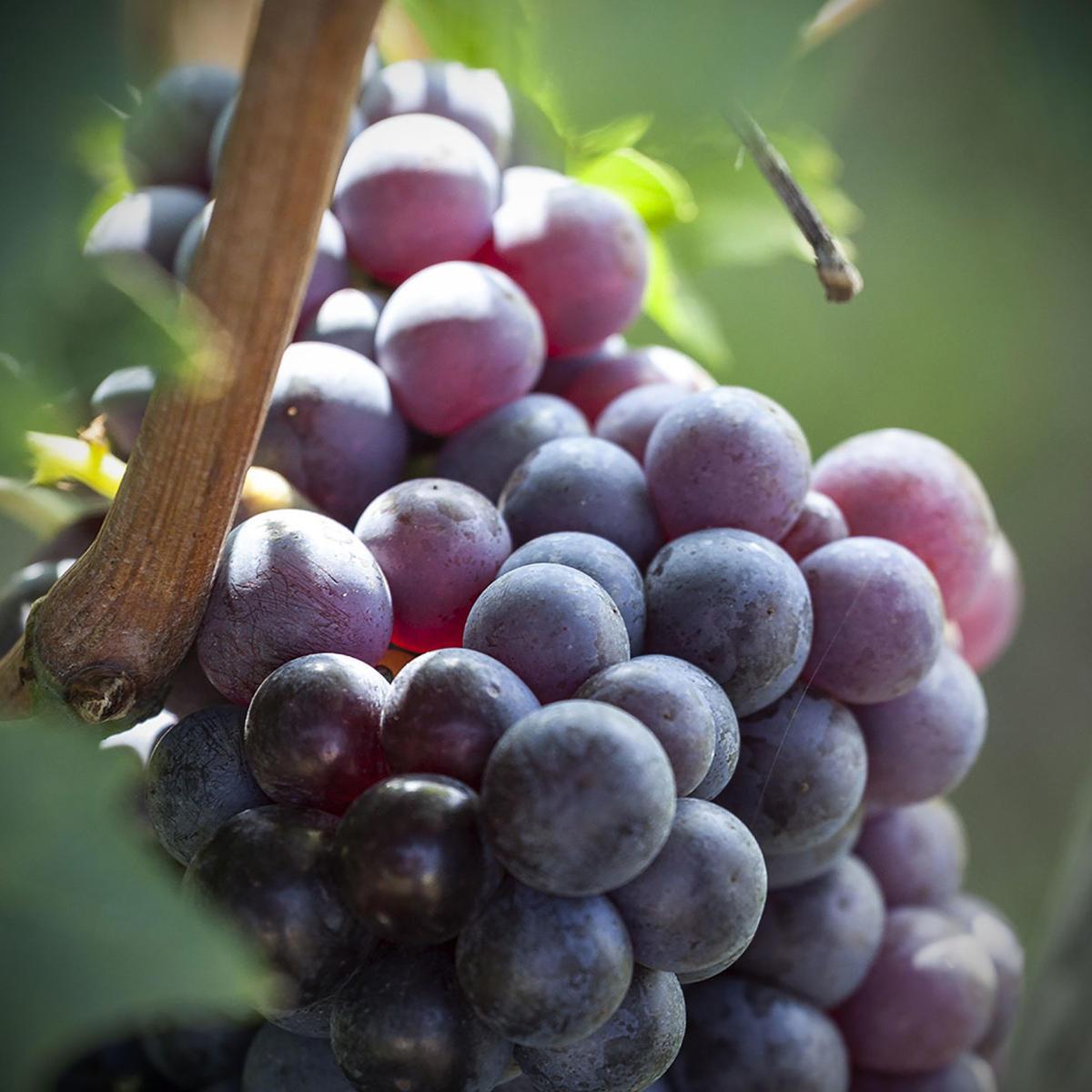 Varietà delle uve